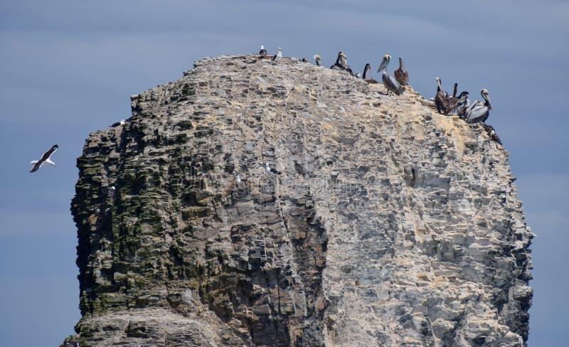 在岩石的海鸥在海洋 免版税库存照片