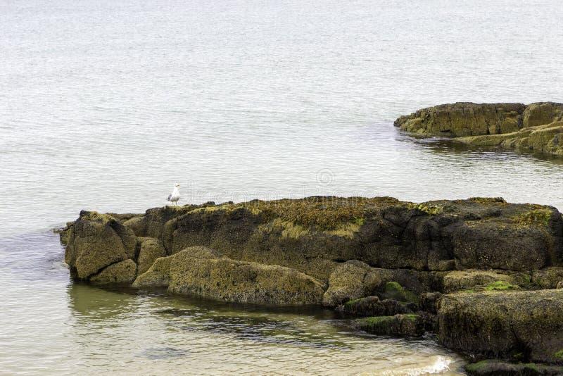 在岩石的海鸥在海洋 库存图片