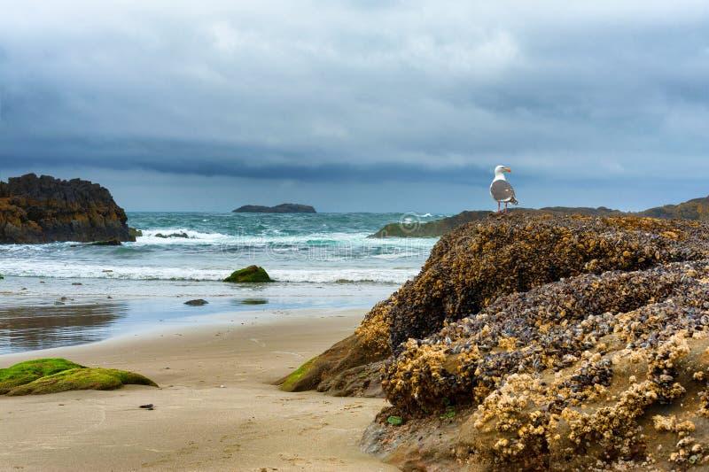 在岩石的海鸥在海滩 免版税库存照片