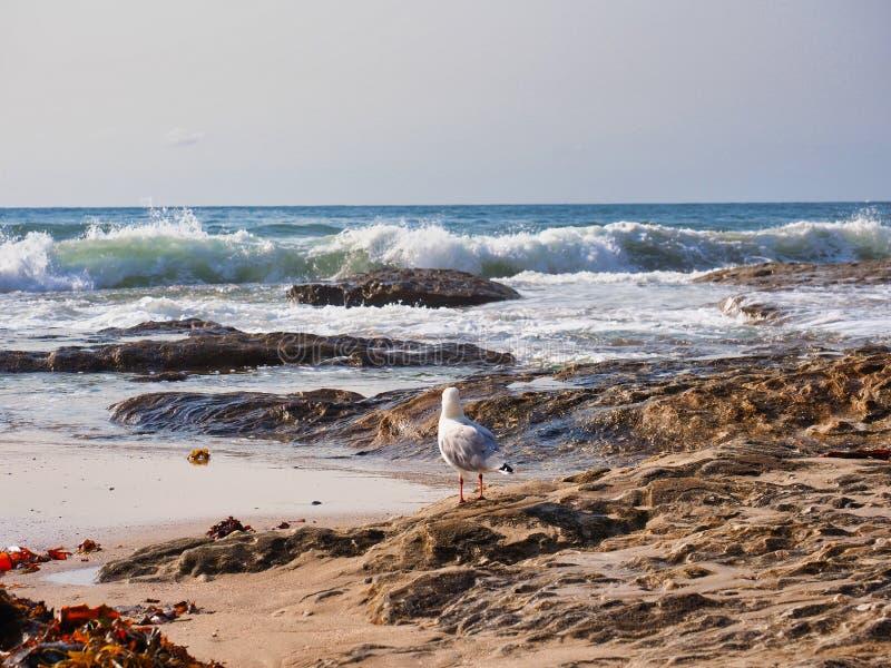 在岩石的海鸥观看重的海浪,悉尼,澳大利亚的 库存图片
