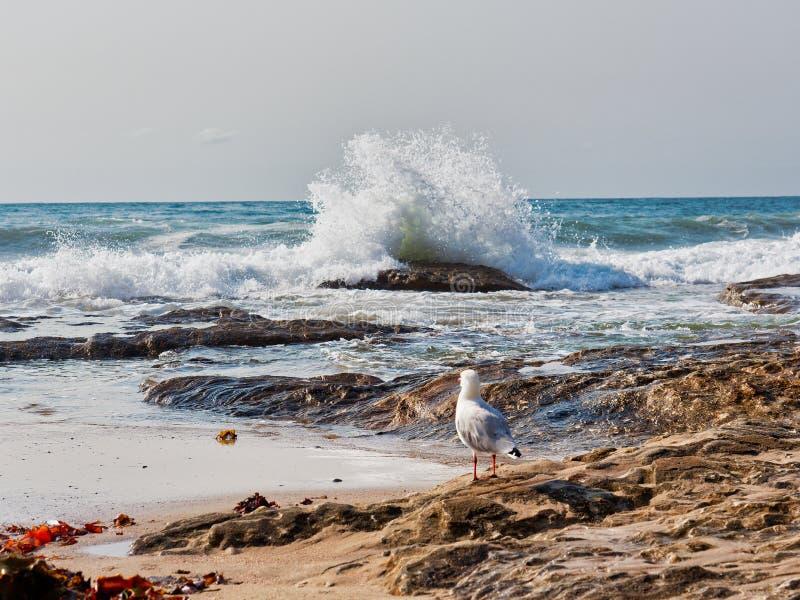 在岩石的海鸥观看重的海浪,悉尼,澳大利亚的 免版税库存照片