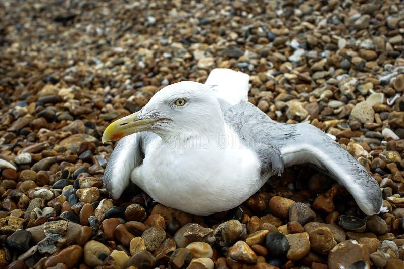 在岩石的海鸥 图库摄影