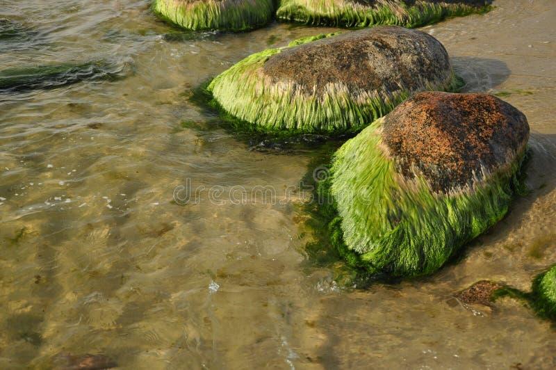 在岩石的海藻 免版税库存照片