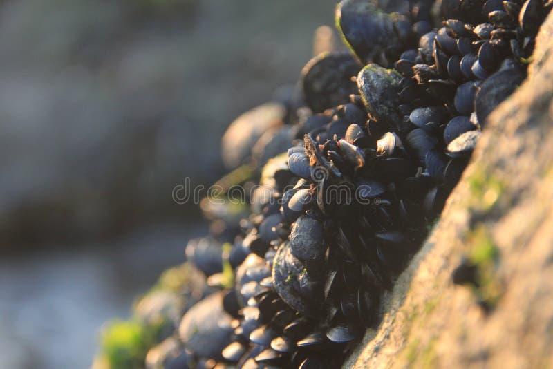 在岩石的淡菜 免版税图库摄影