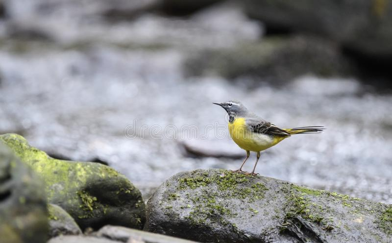 在岩石的灰色令科之鸟 图库摄影