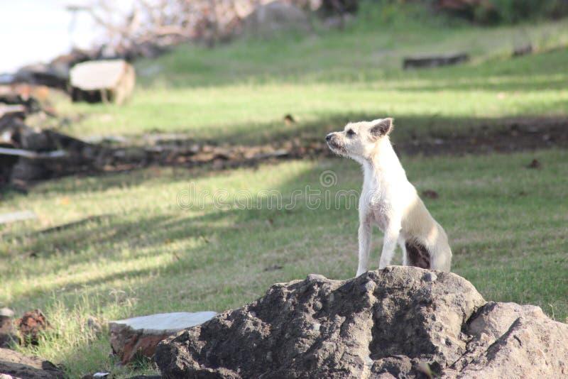 在岩石的狗 免版税库存图片