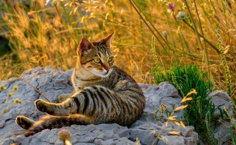 在岩石的猫在日落 免版税库存图片