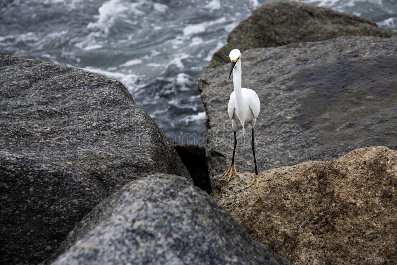 在岩石的白色雪白鹭由海洋 免版税库存照片