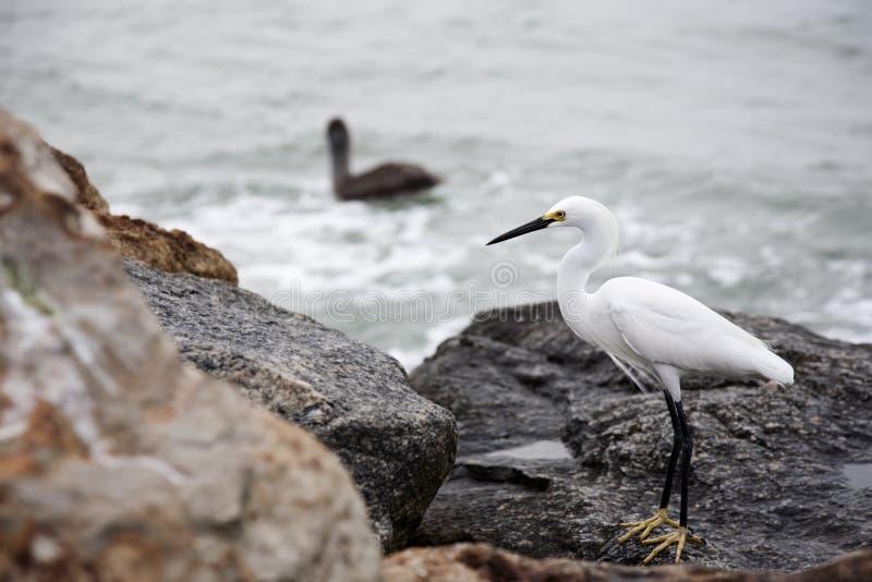 在岩石的白色雪白鹭由海洋 图库摄影