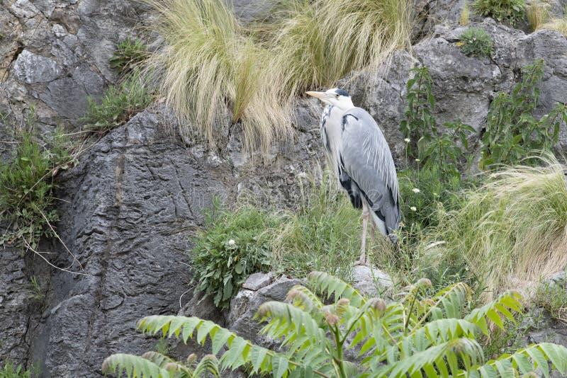 在岩石的白鹭 免版税图库摄影