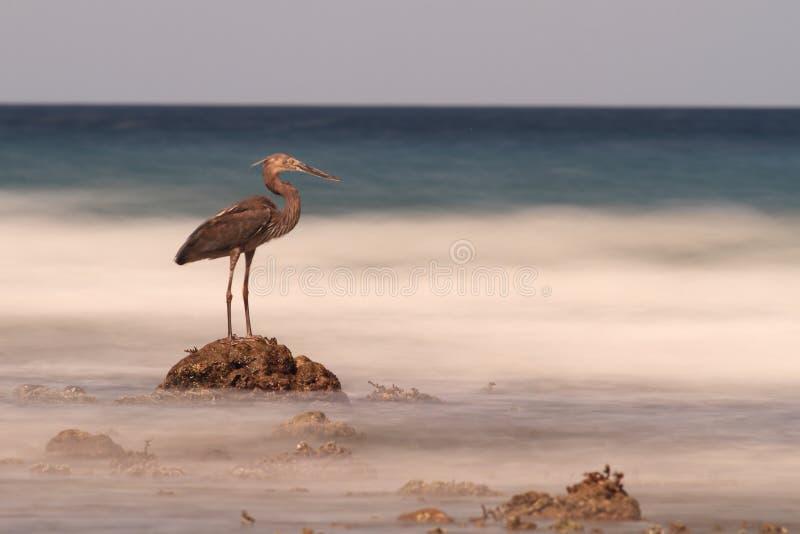 在岩石的苍鹭看到模糊的海,苏拉威西岛 图库摄影