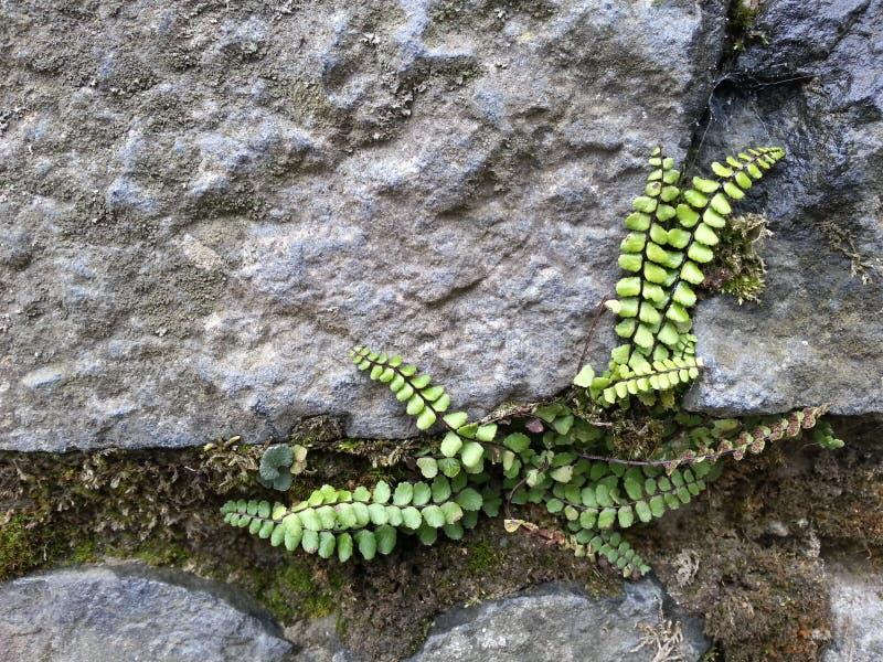 在岩石的蕨 库存图片
