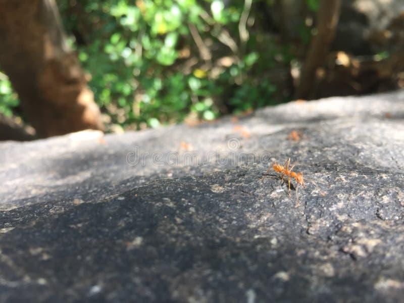 在岩石的蚂蚁 免版税库存照片