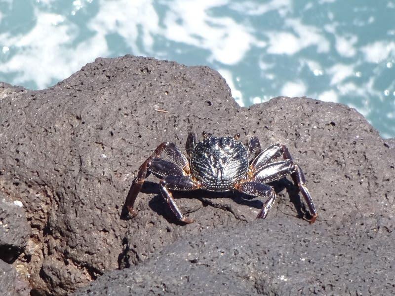 在岩石的螃蟹由海洋 免版税库存图片