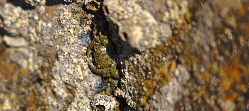 在岩石的螃蟹 免版税图库摄影