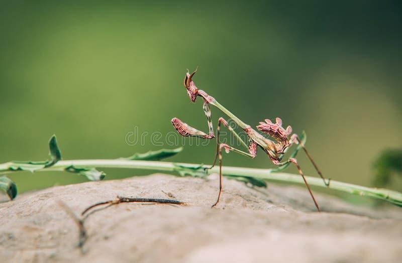 在岩石的螳螂宏观画象 狩猎动物,等待的牺牲者 免版税库存图片
