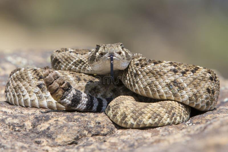 在岩石的西部菱纹背响尾蛇吵闹声蛇 免版税库存照片