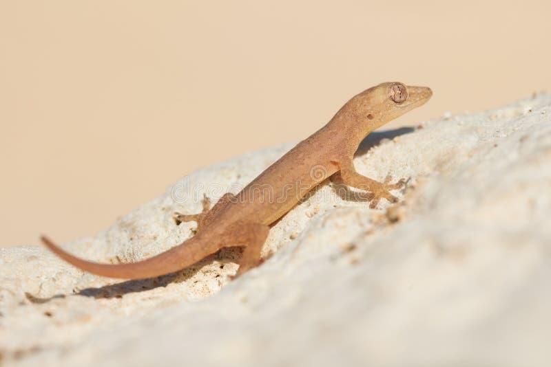 在岩石的逗人喜爱的小的蜥蜴 库存照片