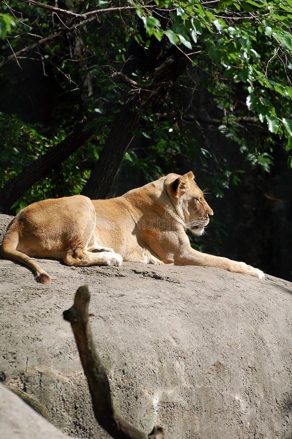 在岩石的雌狮 库存照片