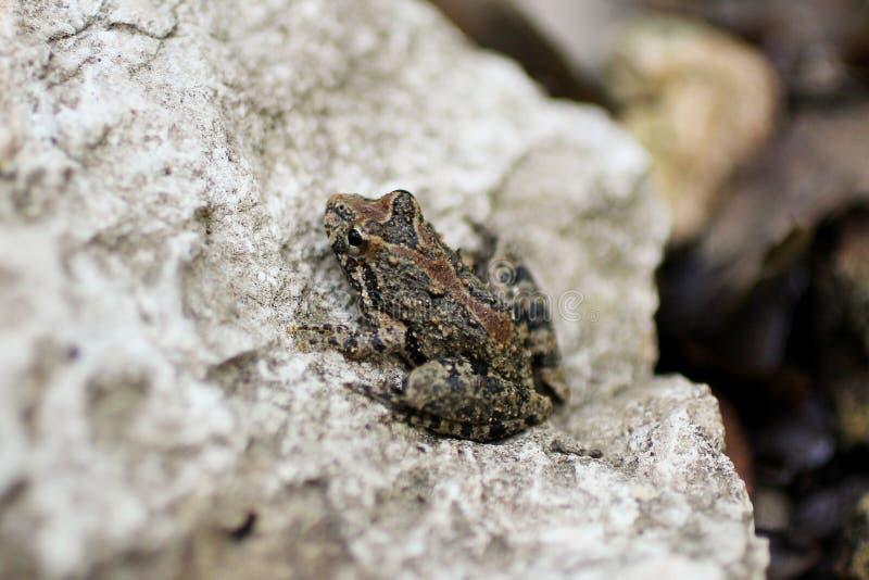在岩石的青蛙 免版税图库摄影
