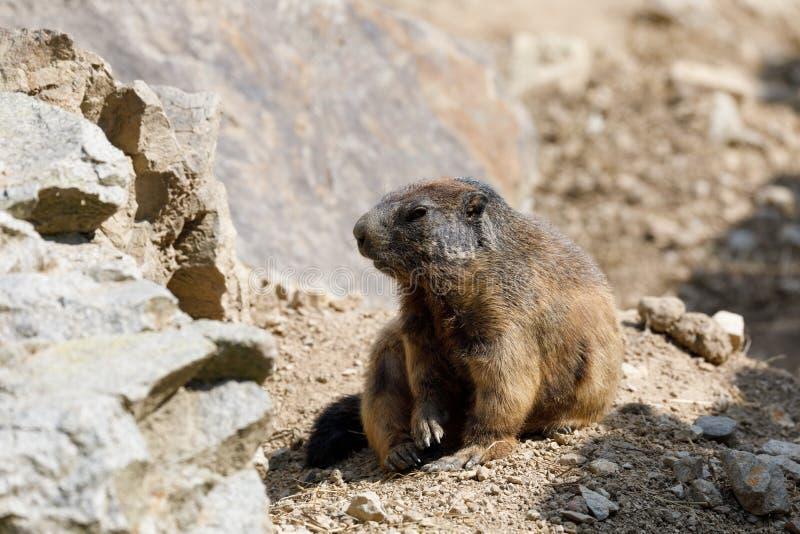 在岩石的高山土拨鼠早獭早獭latirostris 免版税库存图片