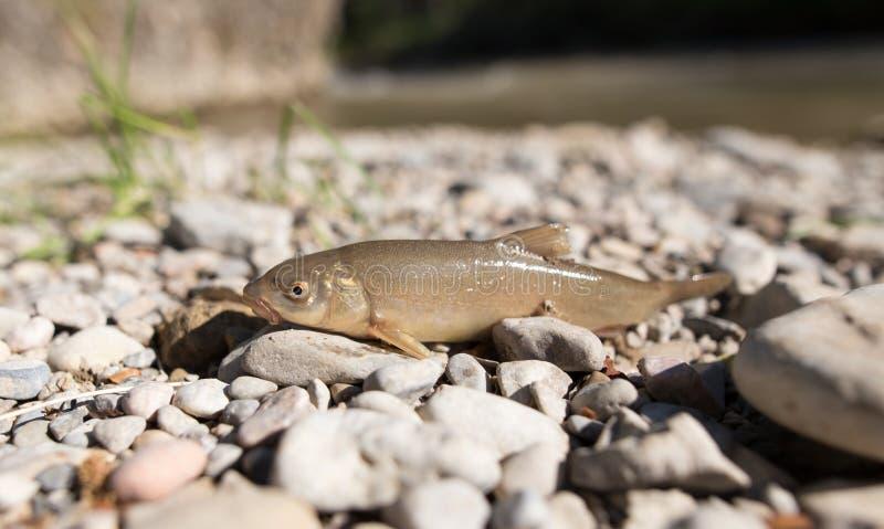 在岩石的鱼由河 库存照片