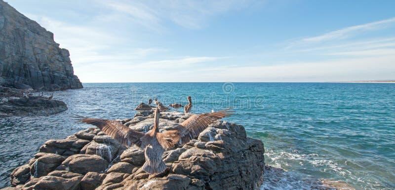 在岩石的鹈鹕着陆在点罗伯斯-蓬塔在喜瑞都海滩附近的罗伯斯在下加利福尼亚州墨西哥 库存图片