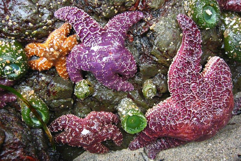 在岩石的紫色和橙色海星在圣约瑟夫海湾,海角斯科特省公园 免版税库存照片