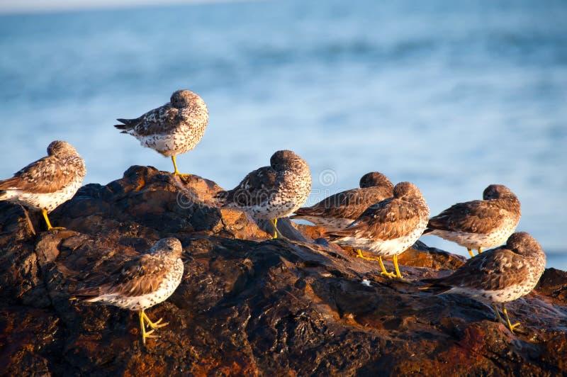 在岩石的麻雀在海滩 免版税库存照片