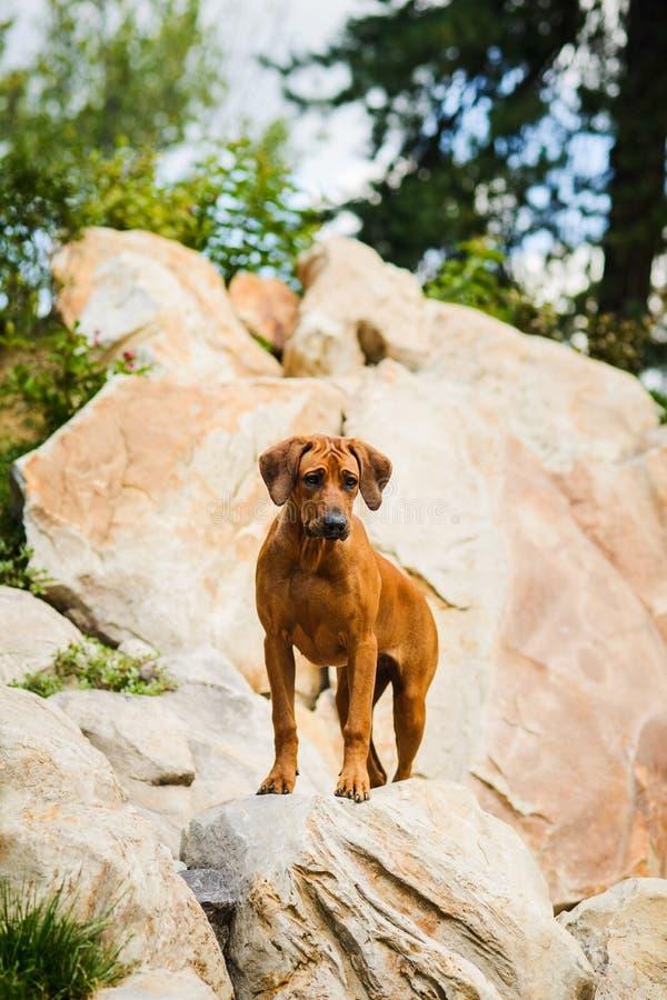 在岩石的Rhodesian Ridgeback在美好的风景 免版税图库摄影