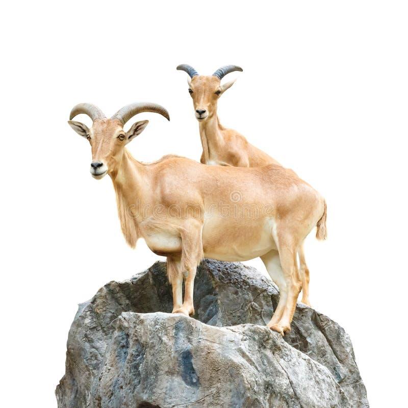 在岩石的Serow (石山羊,鬣羚属sumatraensis)立场在Chiangrai,泰国(被隔绝) 免版税库存图片