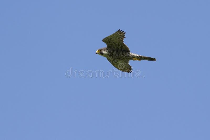 在岩石附近的旅游猎鹰飞行在一个夏天晴天我 图库摄影