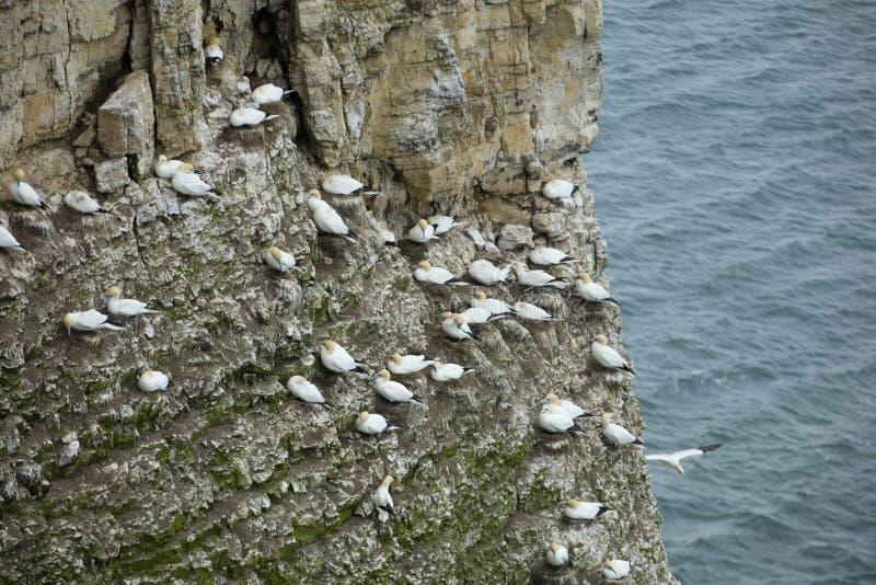 在岩石露出的Gannet嵌套在北海的在Bem附近 免版税库存图片