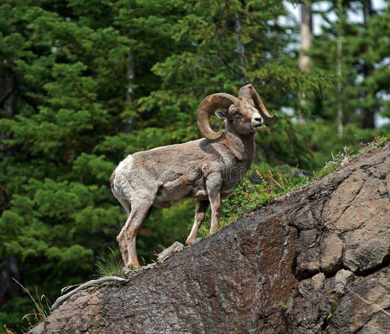 在岩石面孔峭壁顶部的大角野绵羊Ram在黄石国家公园在怀俄明 免版税库存图片