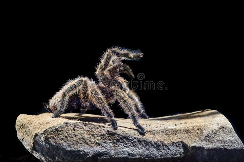 在岩石黑暗的背景的智利桃红色塔兰图拉毒蛛 库存图片