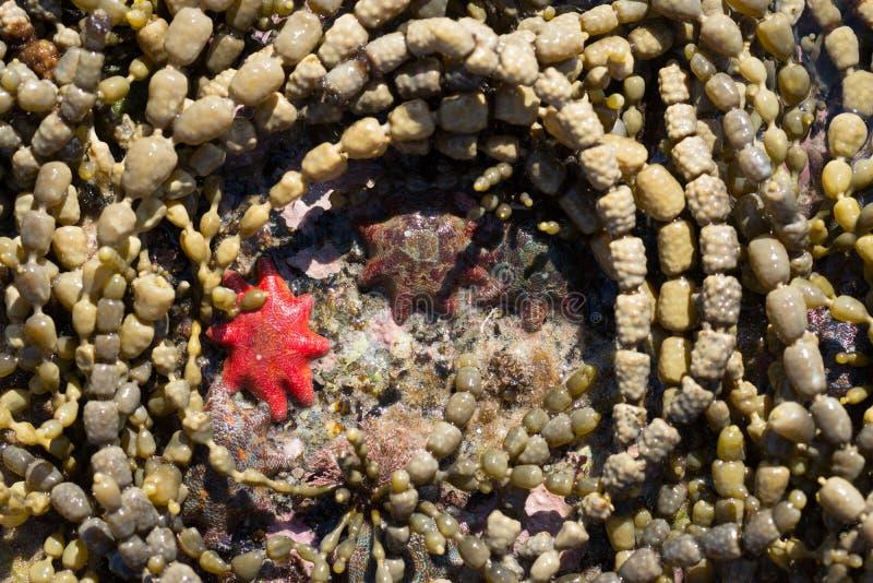 在岩石水池的海星 免版税库存照片