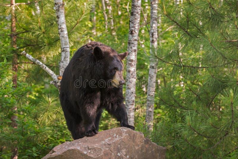 在岩石Lookin的成年女性黑熊熊属类美洲的立场 免版税库存图片