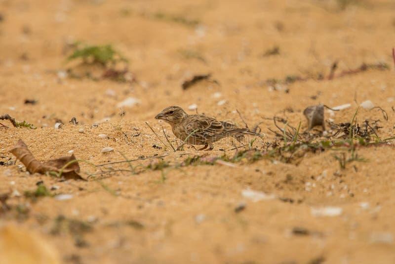 在岸上被加冠的麻雀百灵Eremopterix Griseus斯里兰卡 库存图片