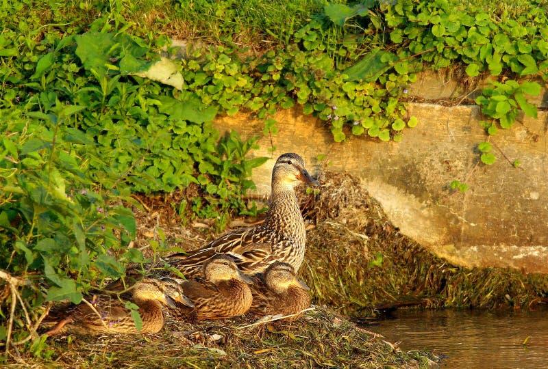 在岸的一个野鸭家庭 免版税库存图片