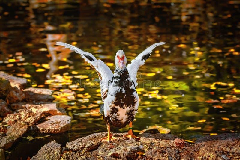 在岸的俄国鸭子 库存图片