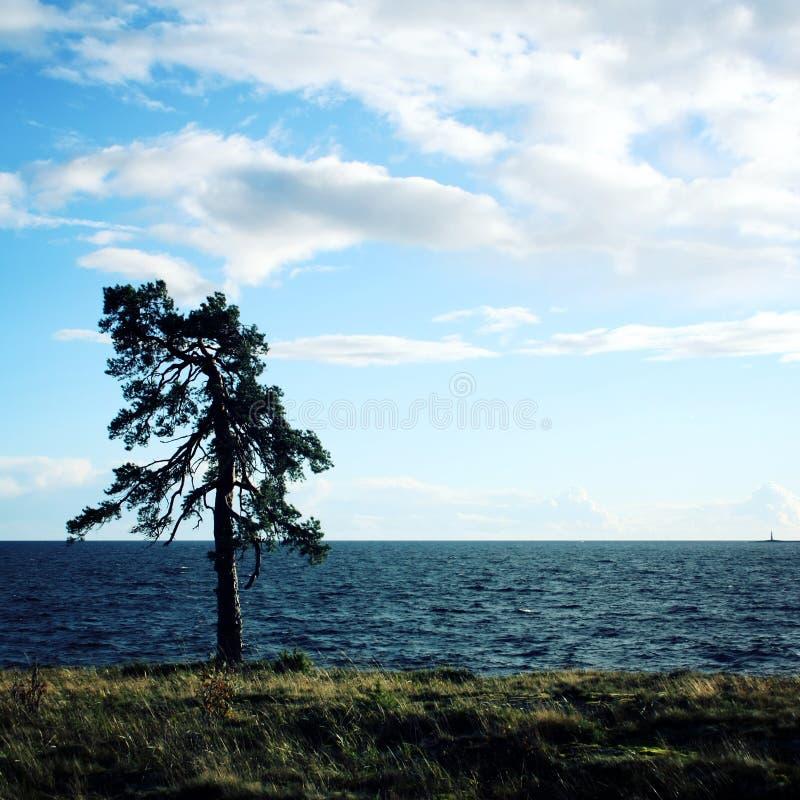 在岸的孤立常设杉树 群岛森林海岛kizhi湖横向北部onega美丽如画的夏天 库存照片