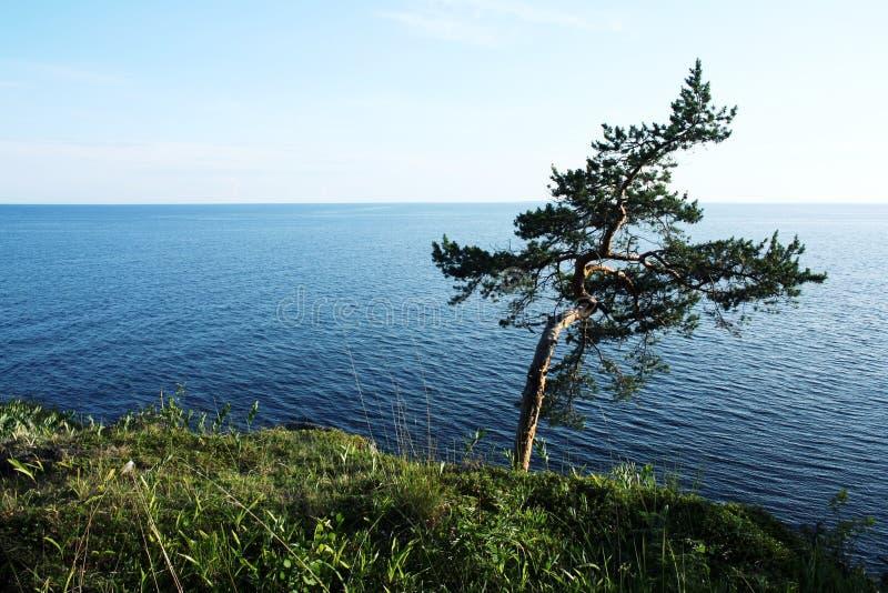 在岸的孤立常设杉树 ladoga湖 免版税图库摄影