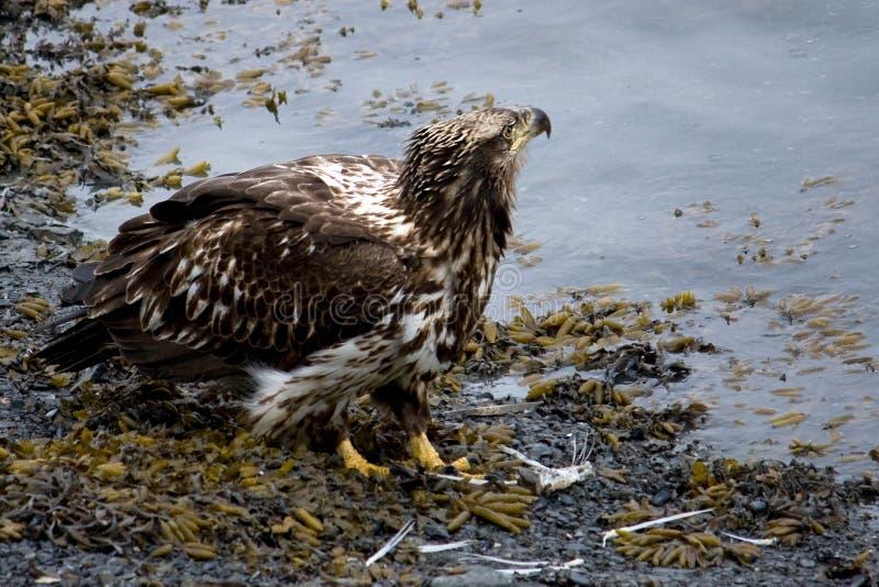 在岸的幼小白头鹰 免版税库存照片
