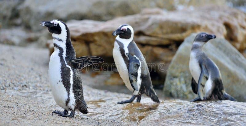 在岸的非洲企鹅在晚上微明下 库存图片