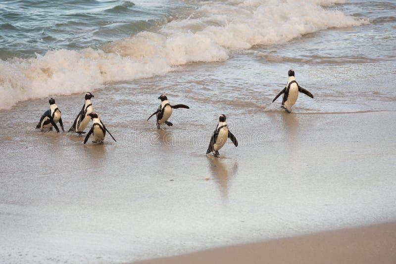 在岸的非洲企鹅 库存照片