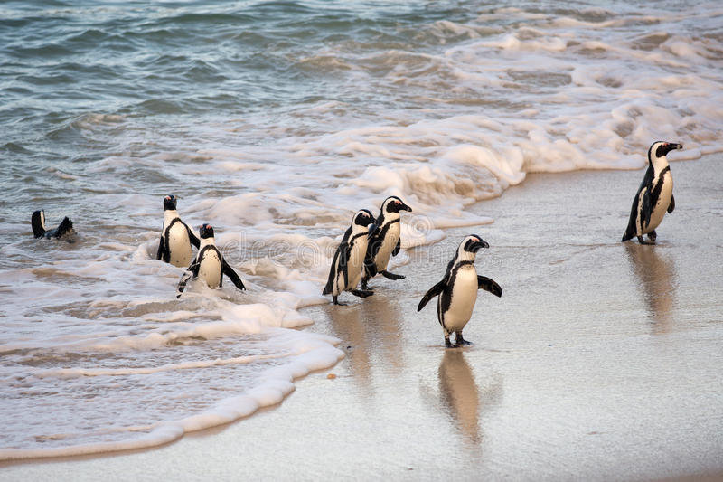 在岸的非洲企鹅 免版税库存照片