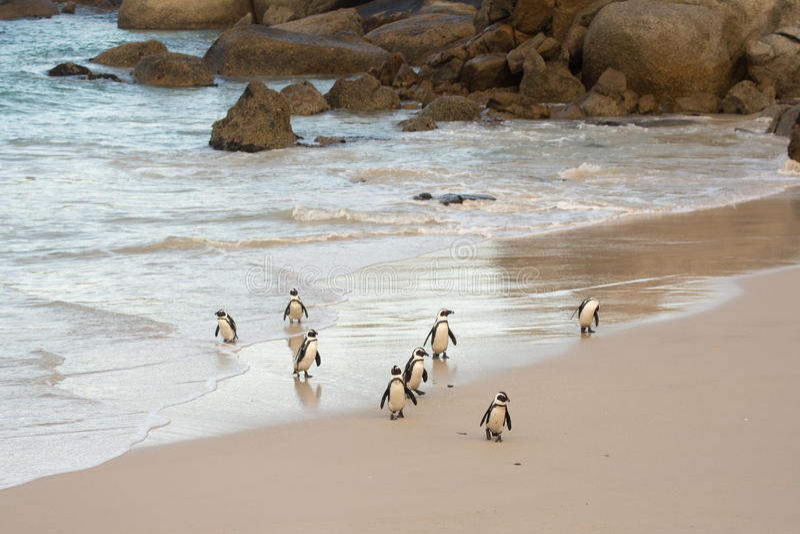在岸的非洲企鹅 免版税库存图片