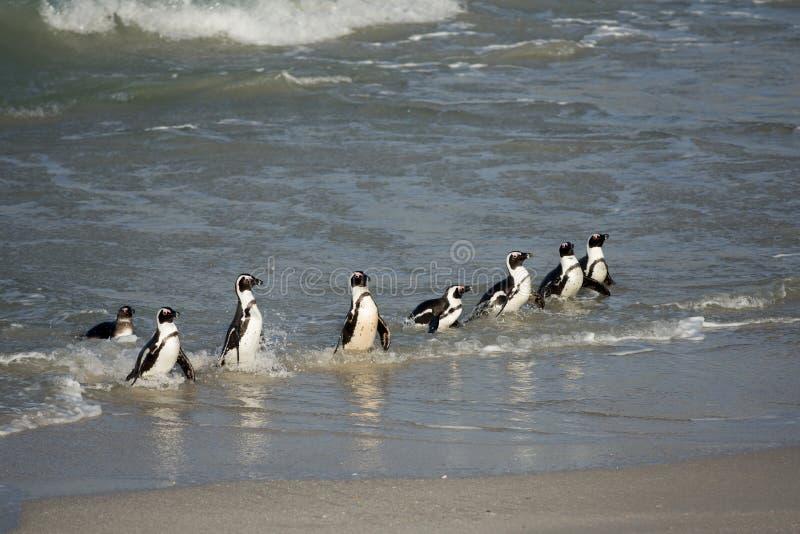 在岸的非洲企鹅 图库摄影