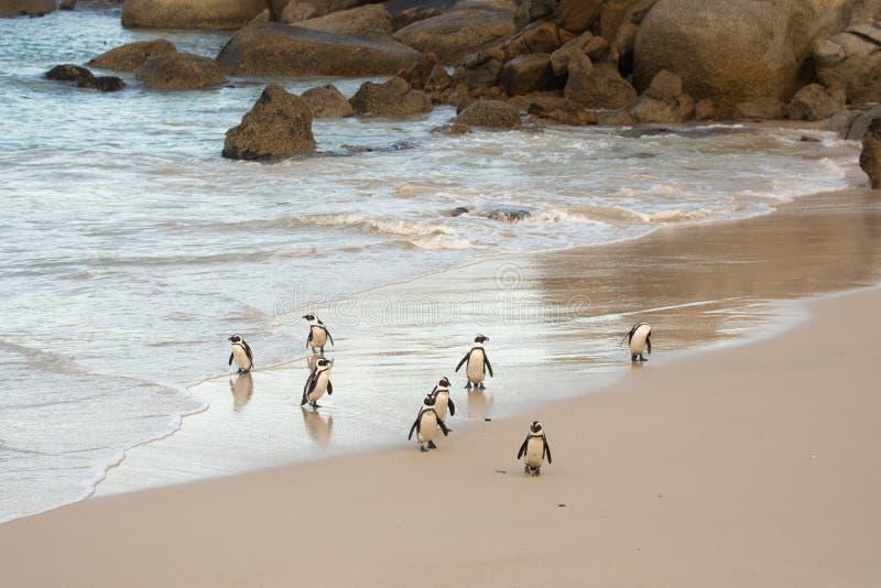 在岸的非洲企鹅 库存图片