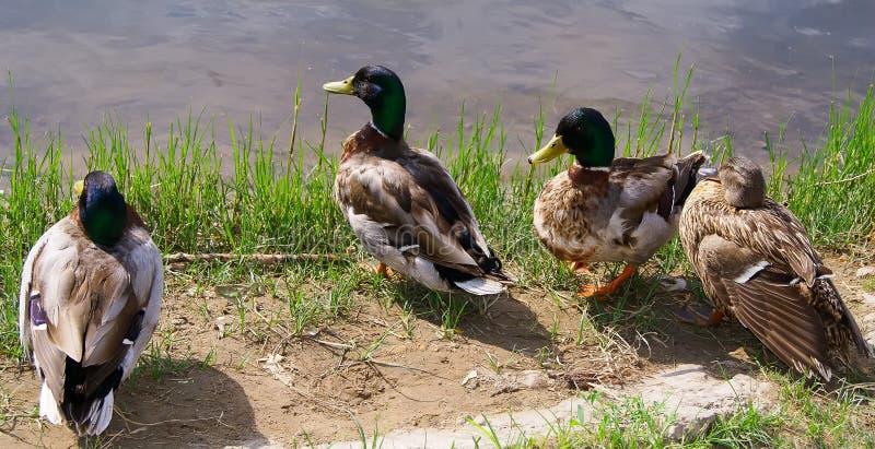 在岸的鸭子 图库摄影